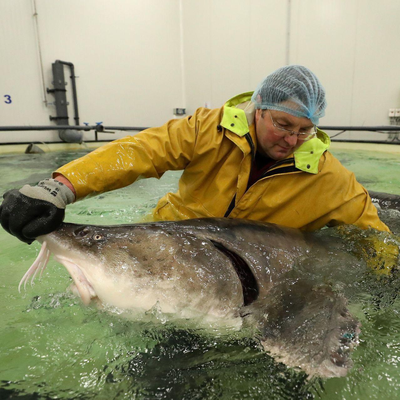 """""""Đột nhập"""" và tìm ra bí mật ở nơi nuôi loài cá làm ra thứ đặc sản thượng hạng hàng trăm triệu/kg - Ảnh 1."""