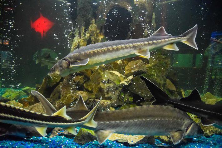 """""""Đột nhập"""" và tìm ra bí mật ở nơi nuôi loài cá làm ra thứ đặc sản thượng hạng hàng trăm triệu/kg - Ảnh 3."""