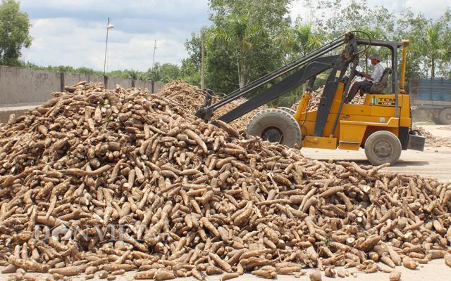 Gía khoai mì vẫn giữ ở mức cao từ đầu năm đến nay
