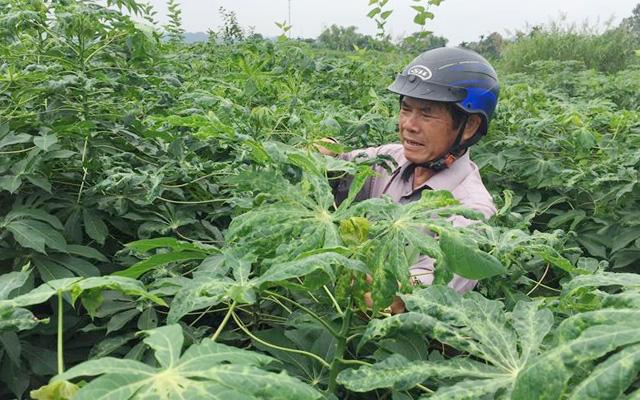 Ruộng khoai mì bị nhiễm bệnh khảm lá ở Quãng Ngãi. Ảnh C.P