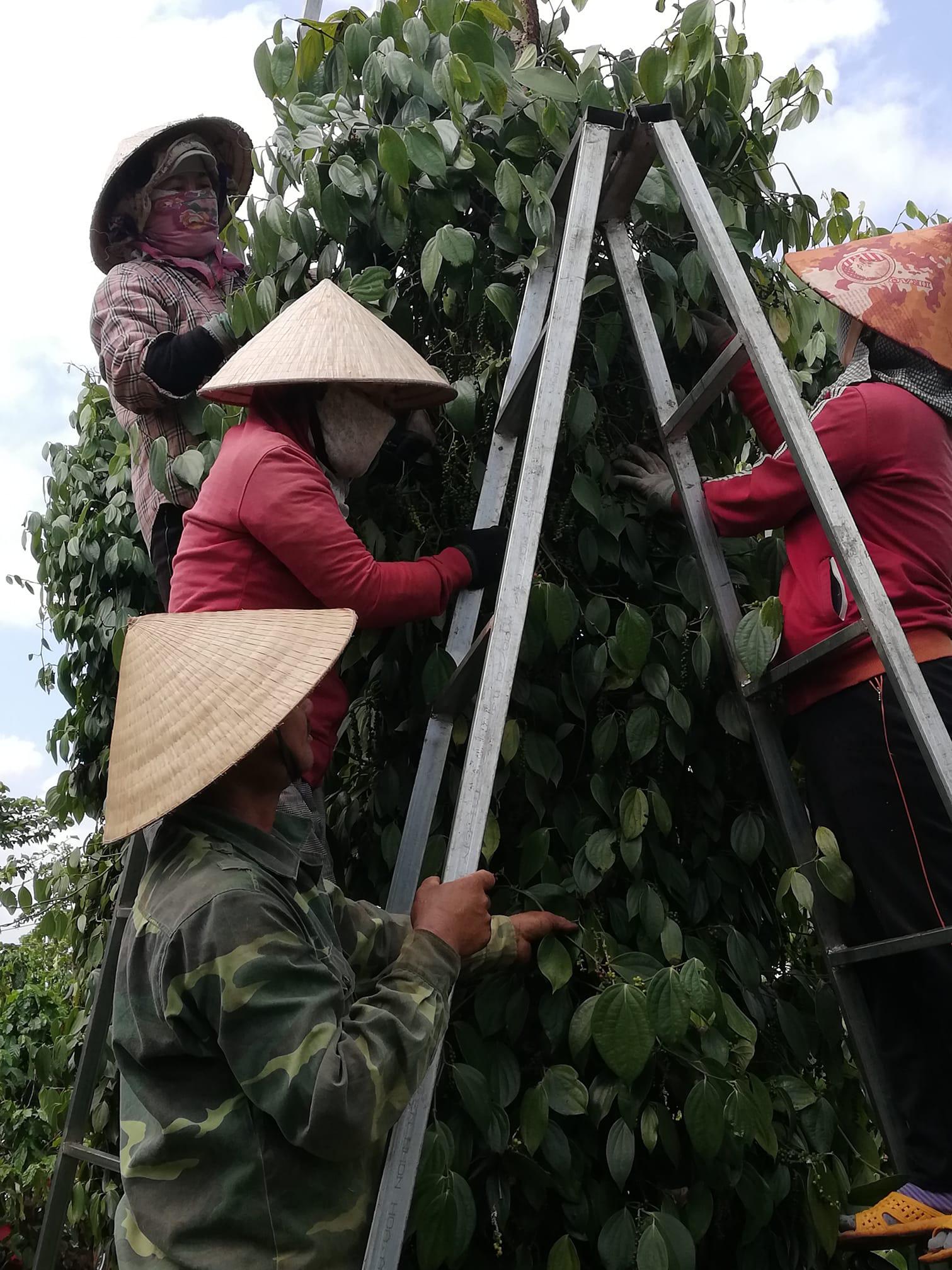 Giá tiêu hôm nay 13/4: Giá tiêu trắng Trung Quốc cao hơn Việt Nam cả ngàn đô la - Ảnh 1.