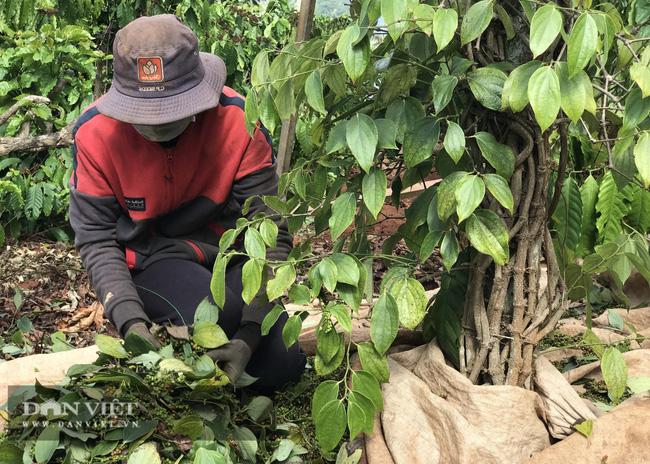 """Giá tiêu hôm nay 14/3: Việt Nam đã nhập khẩu bao nhiêu tấn hạt tiêu, nước nào """"ăn"""" nhiều hạt tiêu Việt nhất?  - Ảnh 1."""
