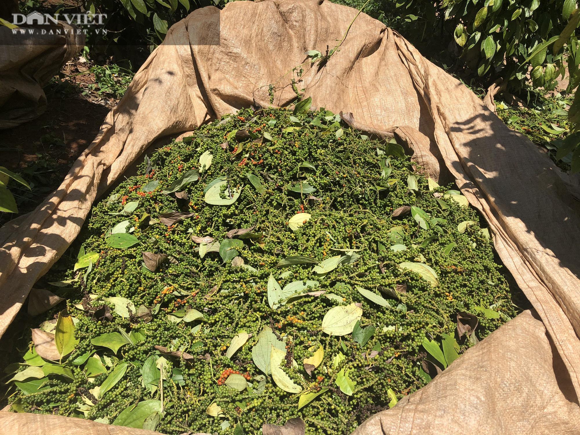 """Giá tiêu hôm nay 14/3: Việt Nam đã nhập khẩu bao nhiêu tấn hạt tiêu, nước nào """"ăn"""" nhiều hạt tiêu Việt nhất?  - Ảnh 2."""