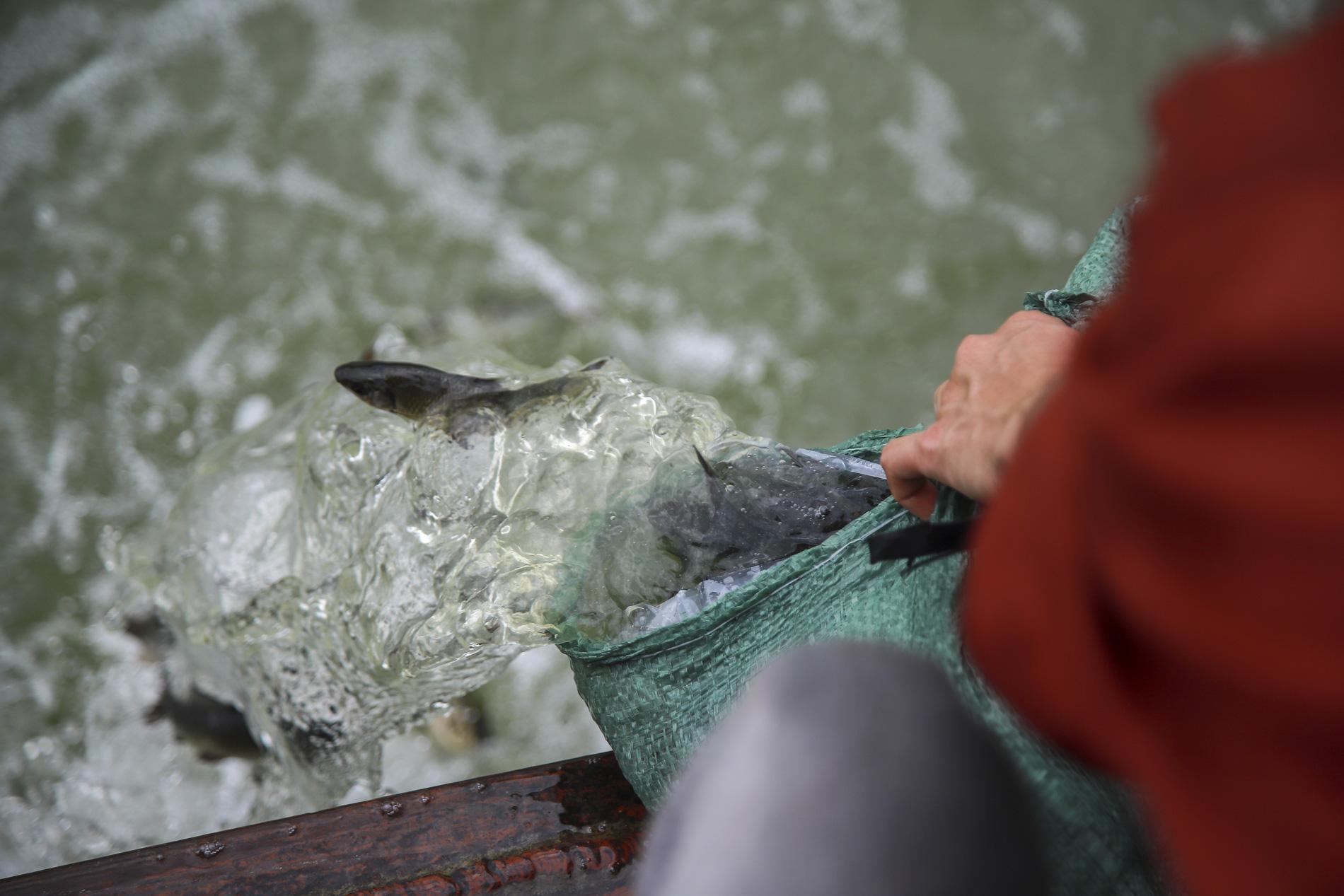 Hơn 10 tấn cá được phóng sinh trên quê hương Bác Hồ - Ảnh 4.