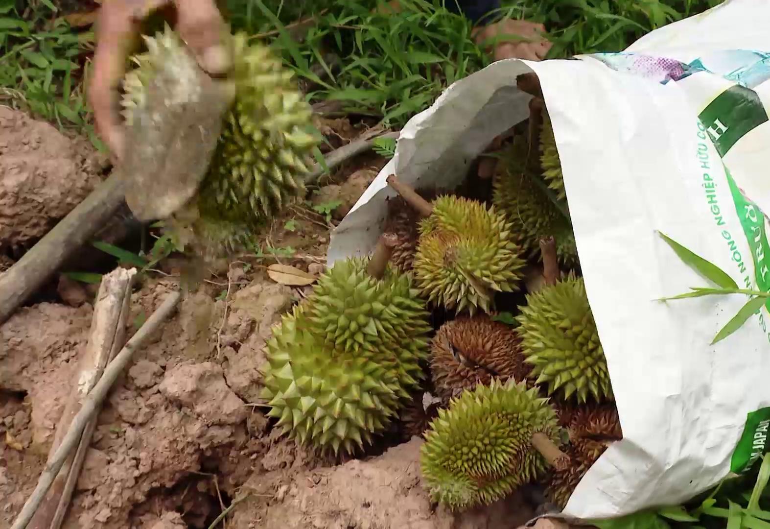 Tiền Giang: Nôn nóng làm điều này, hàng loạt vườn rụng trái non, nông dân nếm vụ sầu riêng đắng  - Ảnh 1.