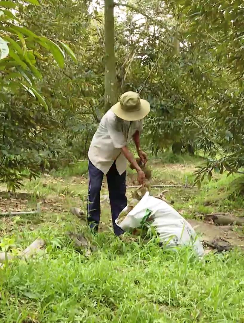 Tiền Giang: Nôn nóng làm điều này, hàng loạt vườn rụng trái non, nông dân nếm vụ sầu riêng đắng  - Ảnh 2.