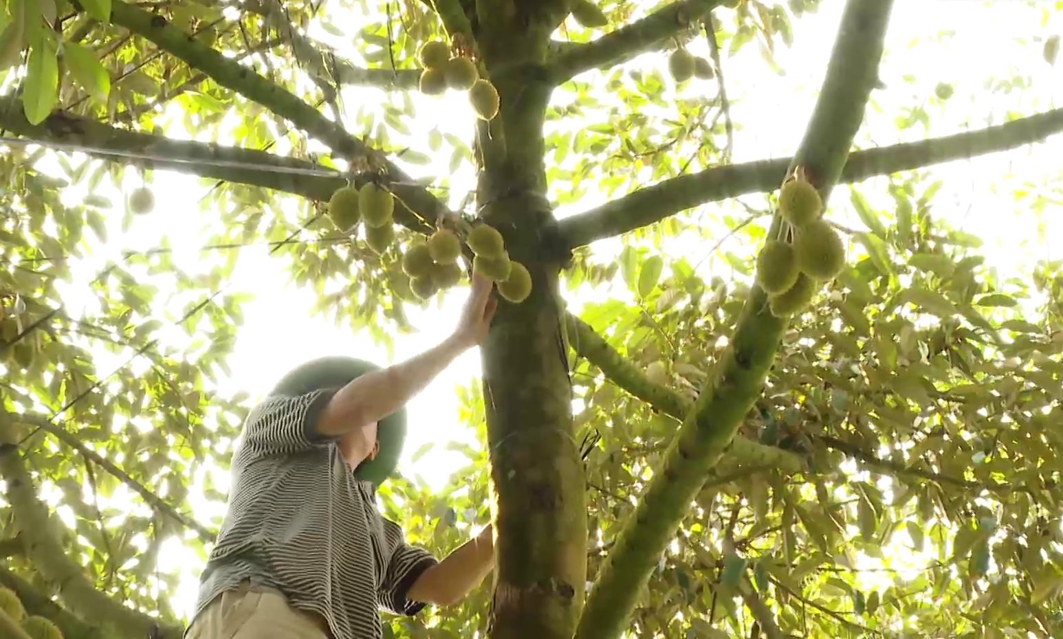 Tiền Giang: Nôn nóng làm điều này, hàng loạt vườn rụng trái non, nông dân nếm vụ sầu riêng đắng  - Ảnh 3.