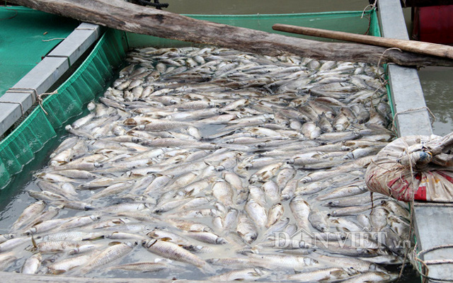 Cá nuôi lồng bè trên sông Sài Gòn đoạn qua thị trấn Dầu Tiếng, huyện Dầu Tiếng, Bình Dương bị chết trắng. Ảnh: V.D