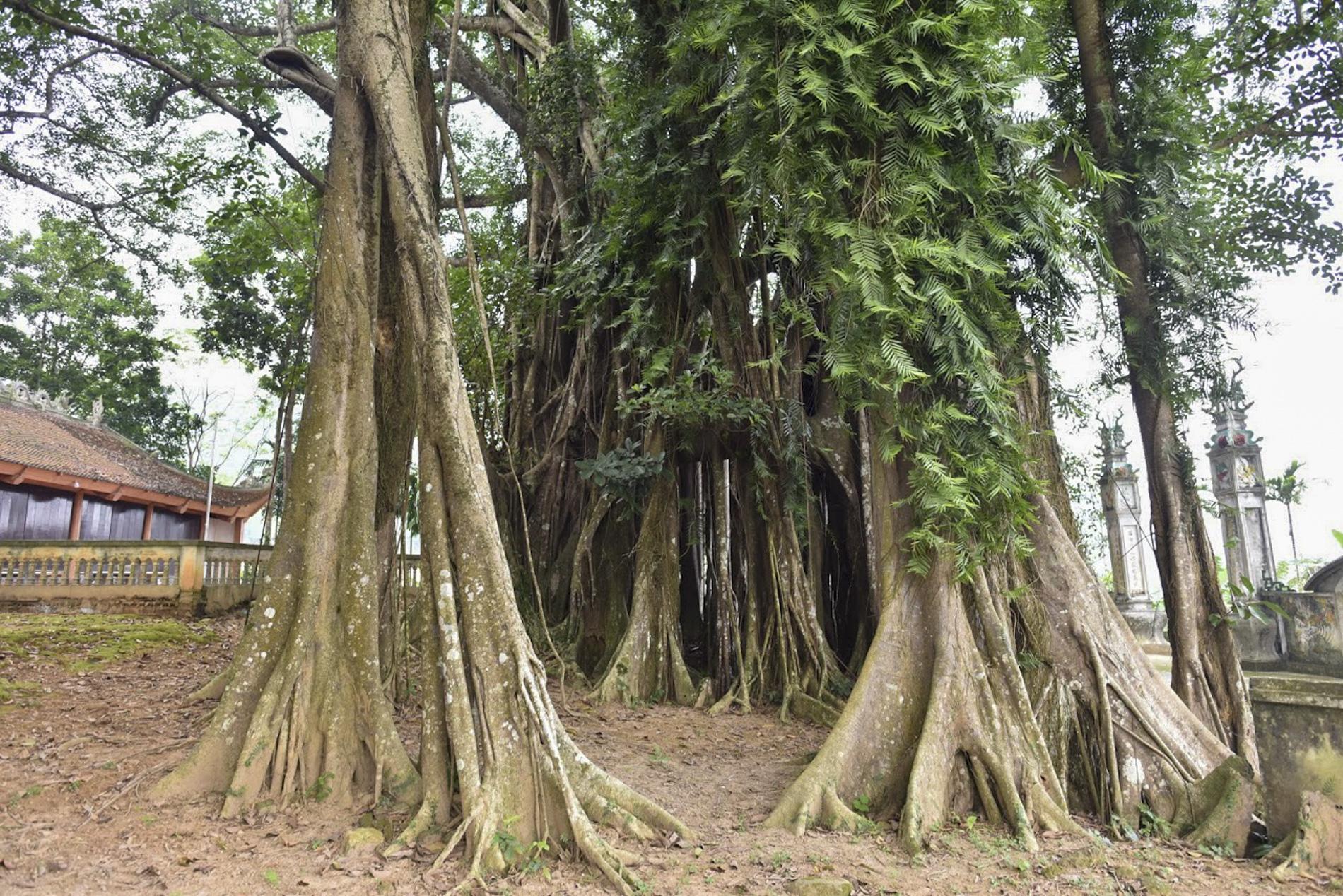 """Chiêm ngưỡng """"báu vật"""" xanh bên đền cổ thờ Tản Viên Sơn Thánh - Ảnh 7."""