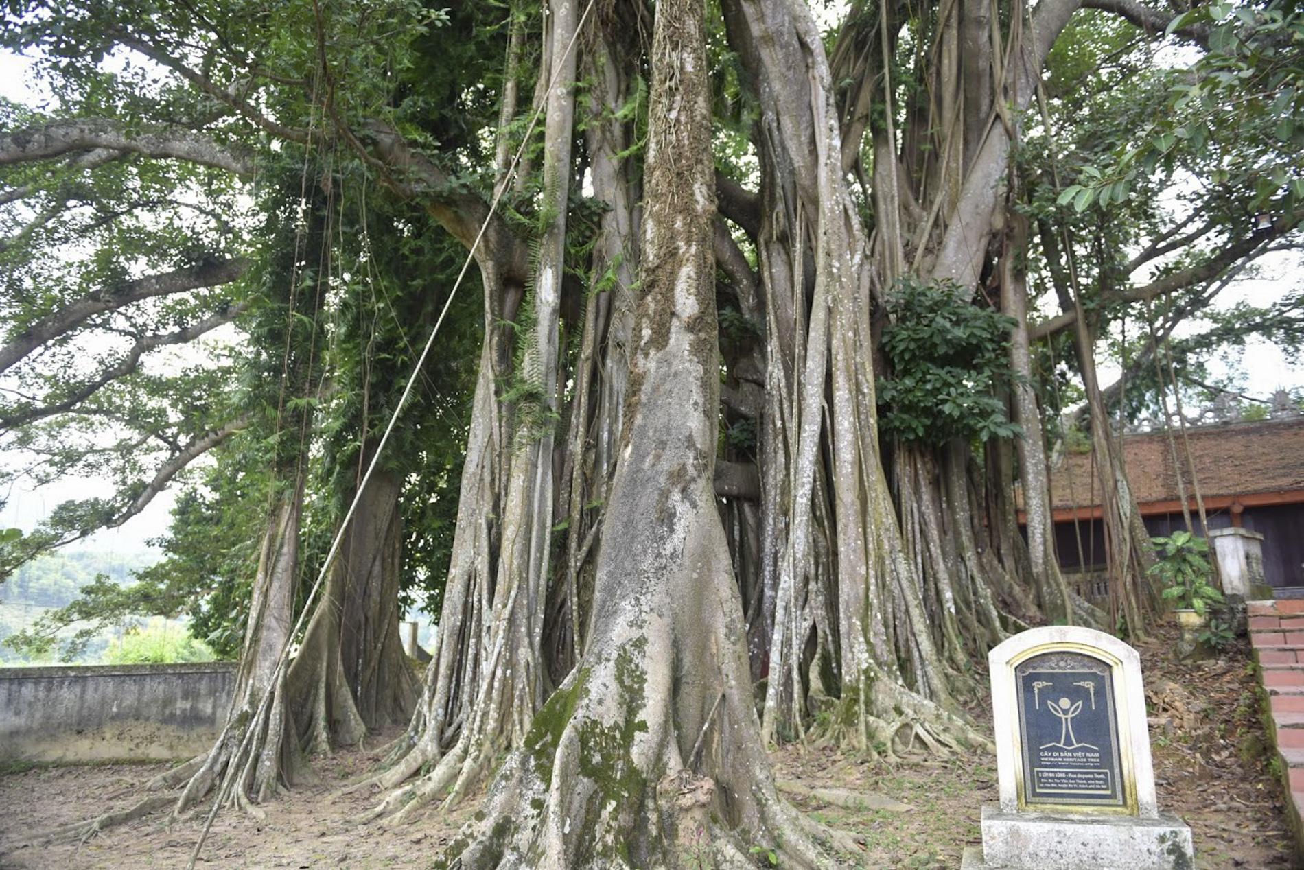 """Chiêm ngưỡng """"báu vật"""" xanh bên đền cổ thờ Tản Viên Sơn Thánh - Ảnh 3."""
