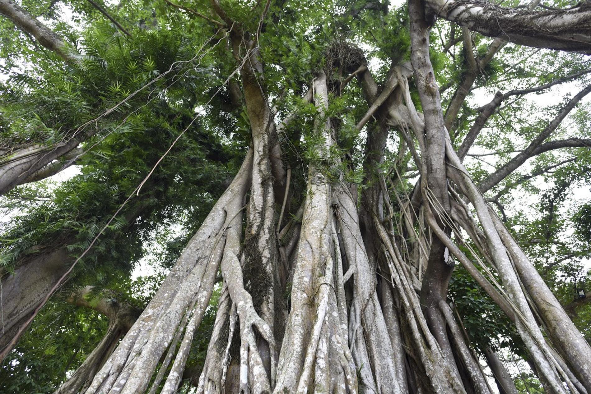 """Chiêm ngưỡng """"báu vật"""" xanh bên đền cổ thờ Tản Viên Sơn Thánh - Ảnh 2."""
