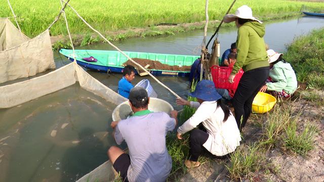 Đồng Tháp: Nuôi cá lăng ngoài đồng lúa, chả phải cho ăn mà dân bắt lên toàn cá tươi rói, bán đắt tiền - Ảnh 1.