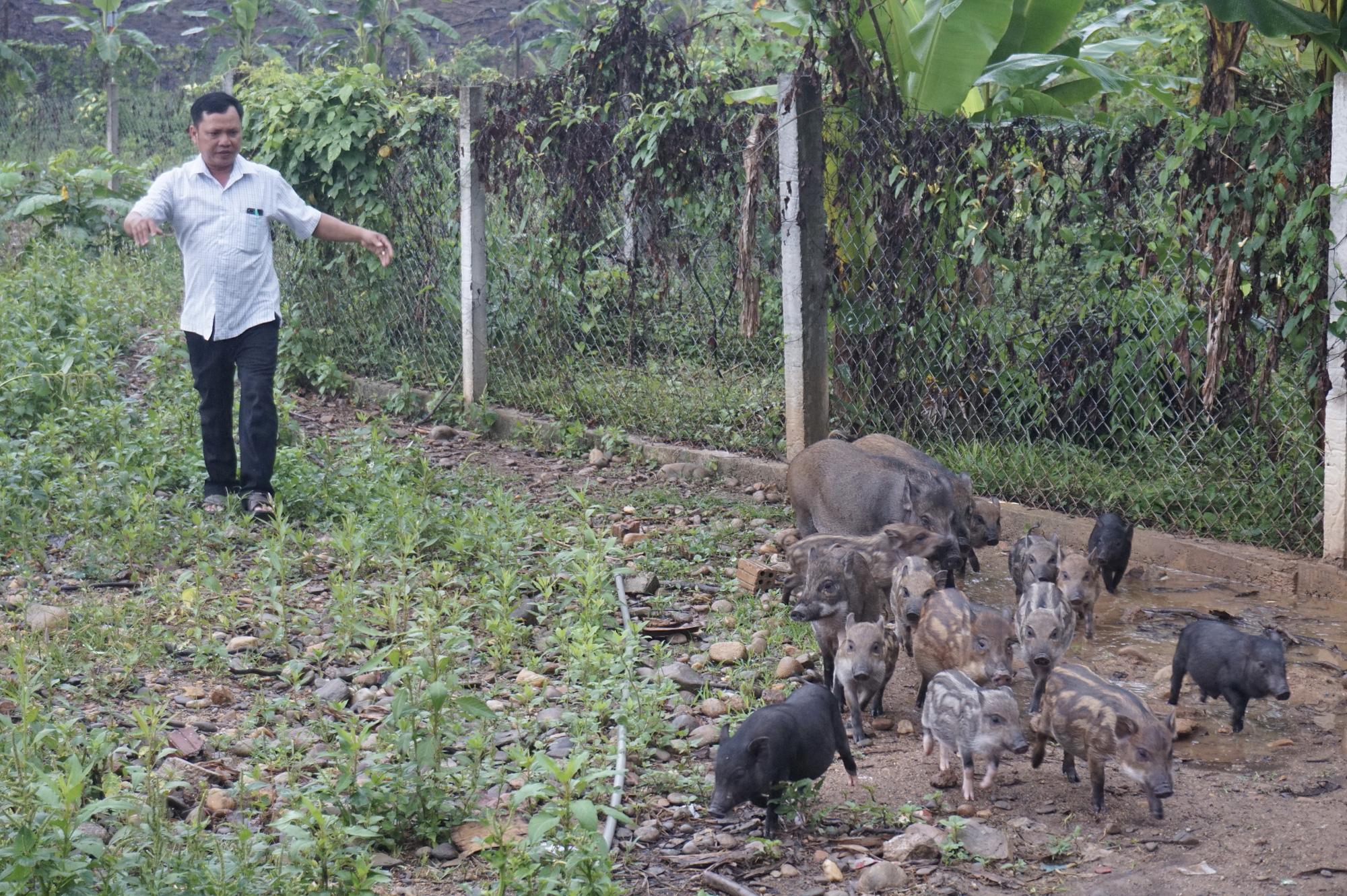 Đà Nẵng: Khởi nghiệp với mô hình nuôi heo rừng lai, một người con Cơ Tu có cuộc sống sung túc - Ảnh 2.