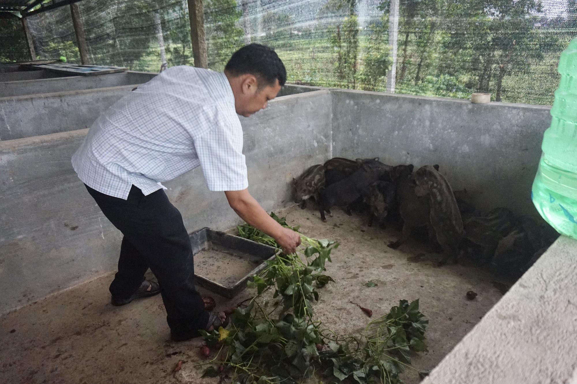 Đà Nẵng: Khởi nghiệp với mô hình nuôi heo rừng lai, một người con Cơ Tu có cuộc sống sung túc - Ảnh 4.