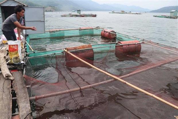 Bình Định: Nuôi cá kiểu lạ, ra giữa hồ nuôi vỗ giòn cá chép, ăn thịt sần sật, bán đắt gấp 3 lần cá thường - Ảnh 2.