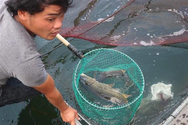 Bình Định: Nuôi cá kiểu lạ, ra giữa hồ nuôi vỗ giòn cá chép, ăn thịt sần sật, bán đắt gấp 3 lần cá thường - Ảnh 1.