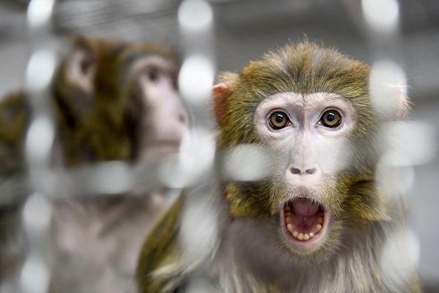 Thí nghiệm phôi lai giữa người và khỉ gây chấn động giới khoa học - Ảnh 2.