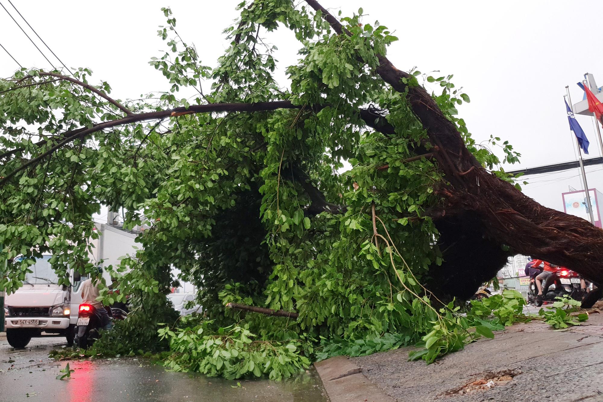TP.HCM: Cây xanh gãy, bật gốc hàng loạt sau mưa lớn - Ảnh 3.