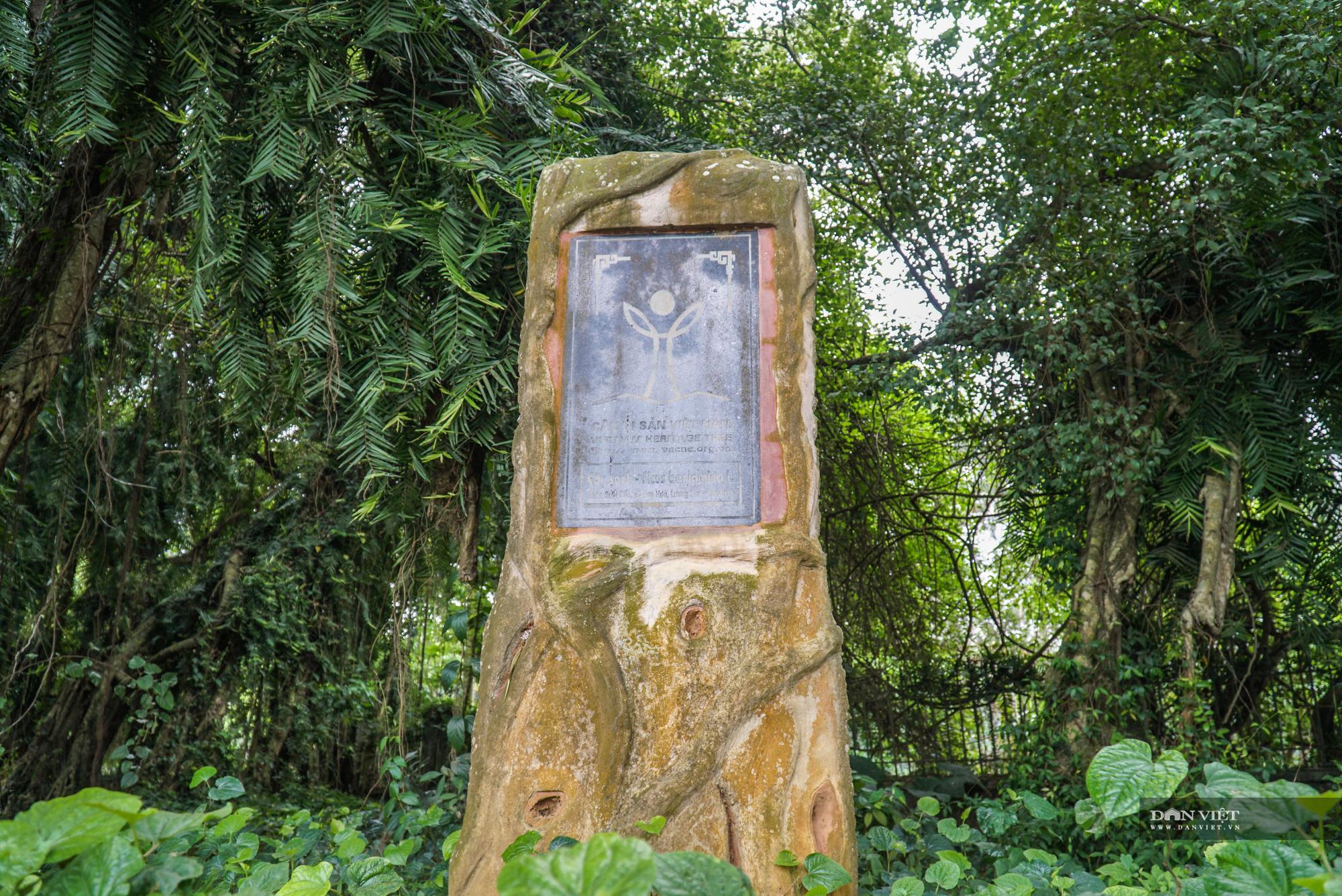 """Chiêm ngưỡng cây """"ma làng"""" 800 tuổi tại vùng núi Hoà Bình - Ảnh 3."""