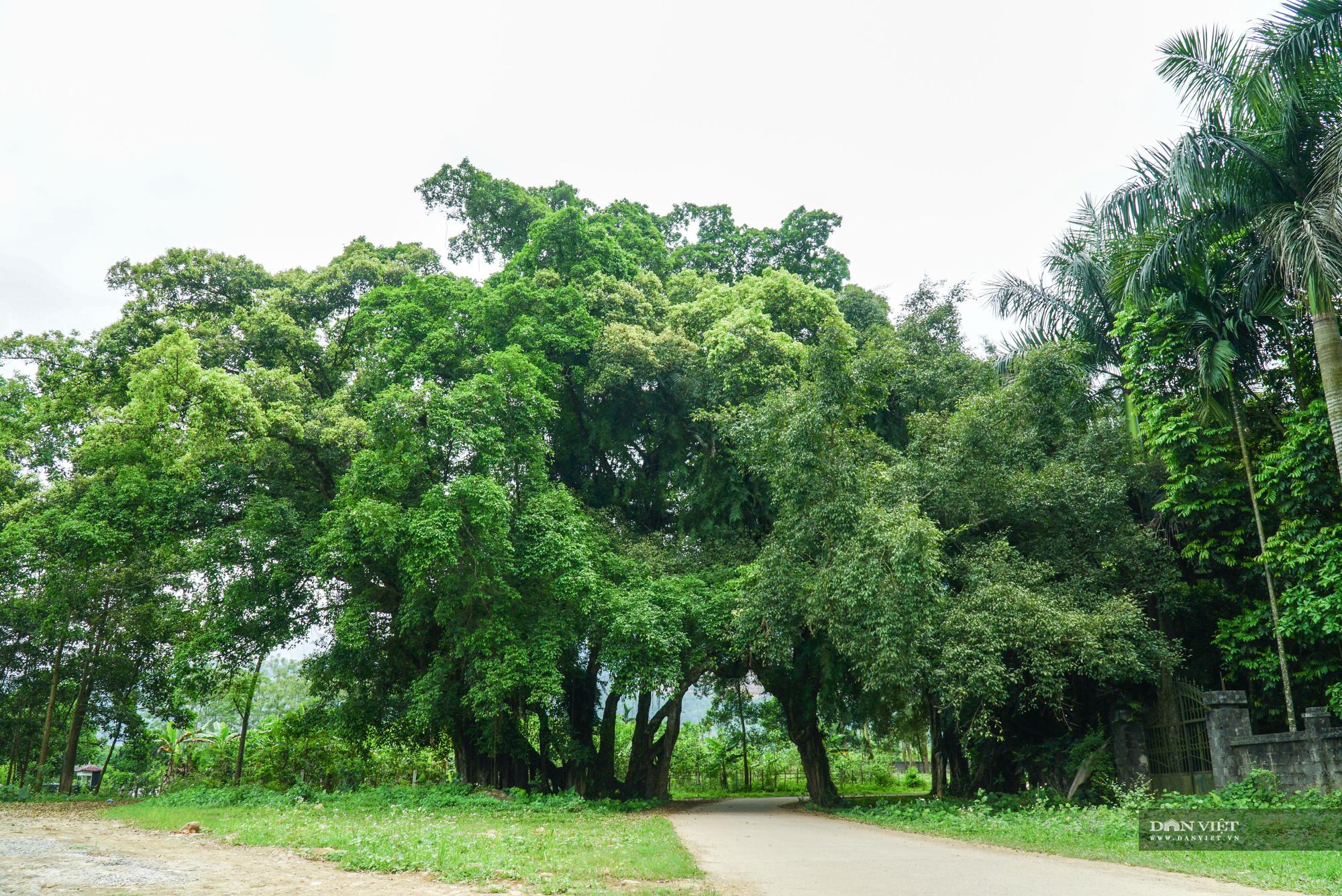 """Chiêm ngưỡng cây """"ma làng"""" 800 tuổi tại vùng núi Hoà Bình - Ảnh 1."""