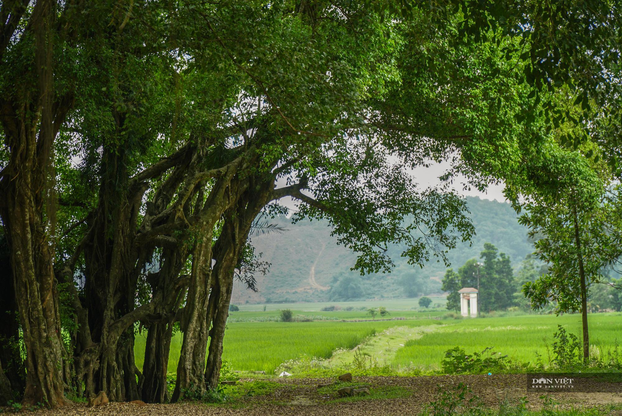 """Chiêm ngưỡng cây """"ma làng"""" 800 tuổi tại vùng núi Hoà Bình - Ảnh 9."""
