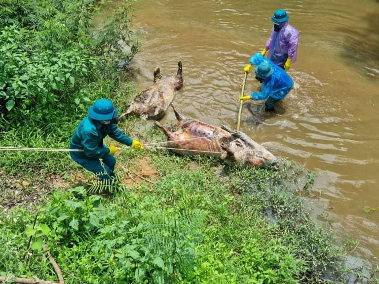 Công an vào cuộc điều tra vụ nhiều lợn chết nổi dọc khe nước - Ảnh 2.