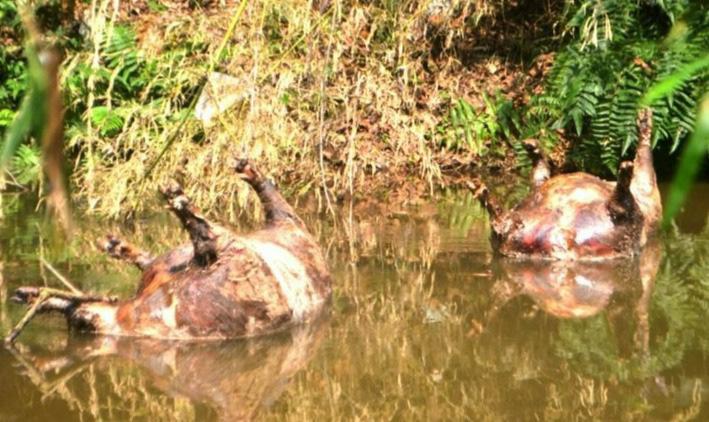 Công an vào cuộc điều tra vụ nhiều lợn chết nổi dọc khe nước - Ảnh 1.