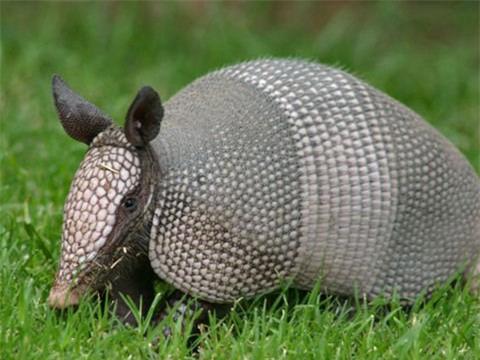 Tatu ba đai - loài động vật nhỏ bé có thể lăn tròn như quả bóng khi gặp nguy hiểm - Ảnh 2.