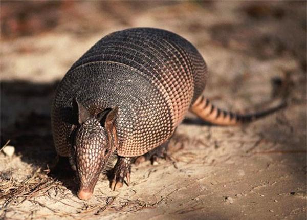Tatu ba đai - loài động vật nhỏ bé có thể lăn tròn như quả bóng khi gặp nguy hiểm - Ảnh 3.