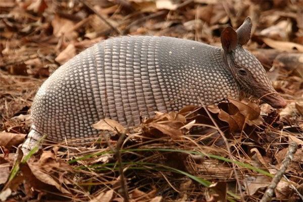 Tatu ba đai - loài động vật nhỏ bé có thể lăn tròn như quả bóng khi gặp nguy hiểm - Ảnh 4.