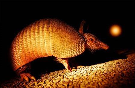 Tatu ba đai - loài động vật nhỏ bé có thể lăn tròn như quả bóng khi gặp nguy hiểm - Ảnh 5.