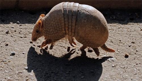 Tatu ba đai - loài động vật nhỏ bé có thể lăn tròn như quả bóng khi gặp nguy hiểm - Ảnh 6.