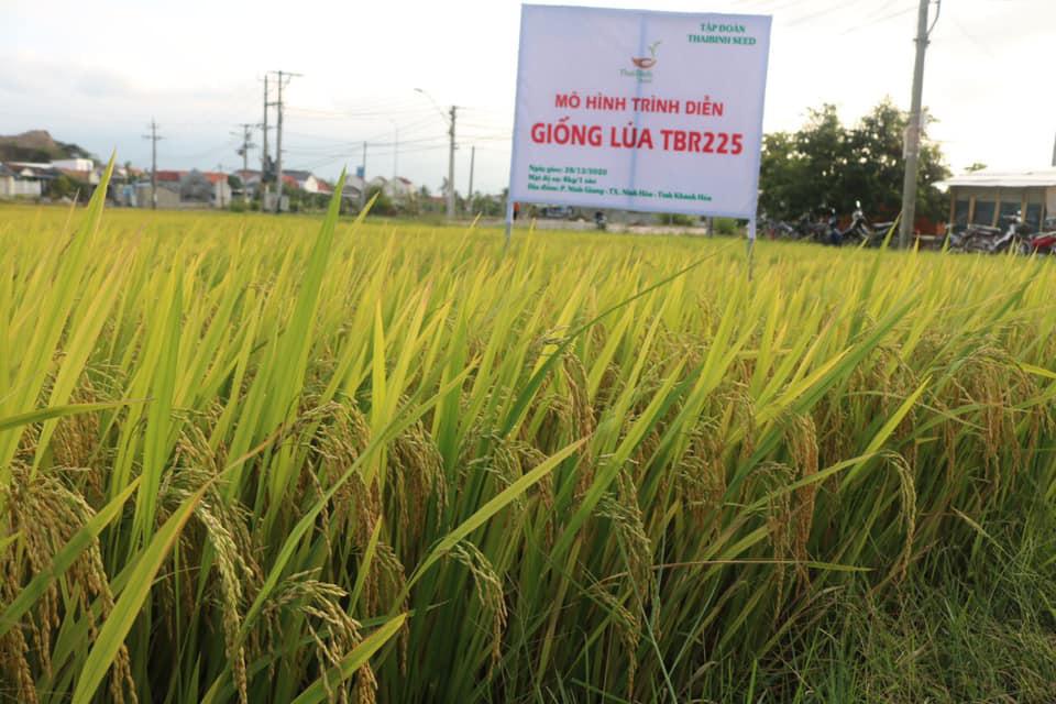 Khánh Hòa: Giống lúa TBR225 gạo ngon, cơm mềm năng suất ra sao khiến nông dân mê mẩn - Ảnh 2.