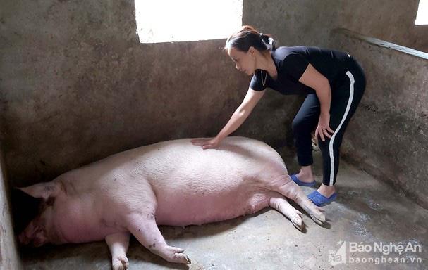 Nghệ An: Vì sao lợn nái hay mắc dịch tả châu Phi, mang thai sắp đến ngày đẻ bỗng lăn ra chết? - Ảnh 1.