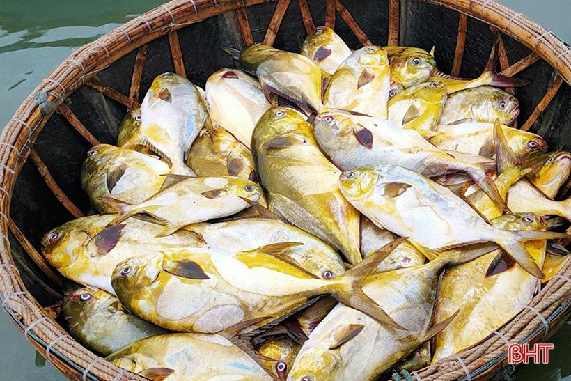 Hà Tĩnh: Dân ra biển bắt ngay được hàng tấn cá chim vàng, con nào cũng to bự, bán 300.000 đồng/kg - Ảnh 2.