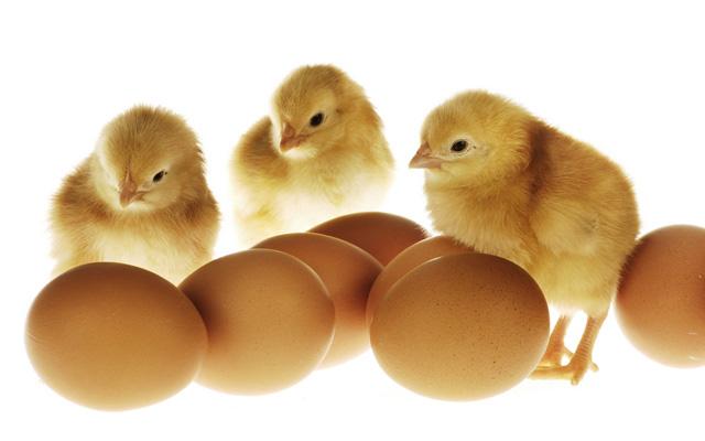 Sản phẩm chính của nhà máy là: gà con giống 1 ngày tuổi,  nuôi thịt và nuôi đẻ trứng.