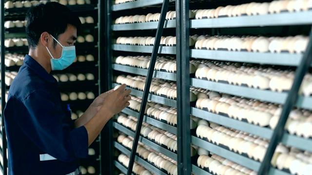 Các sản phẩm gà con của Bel Gà Tây Ninh đảm bảo tiêu chuẩn quốc tế Global GAP, được kiểm soát an toàn sinh học, và giám sát chất lượng đầu vào của trứng ấp.
