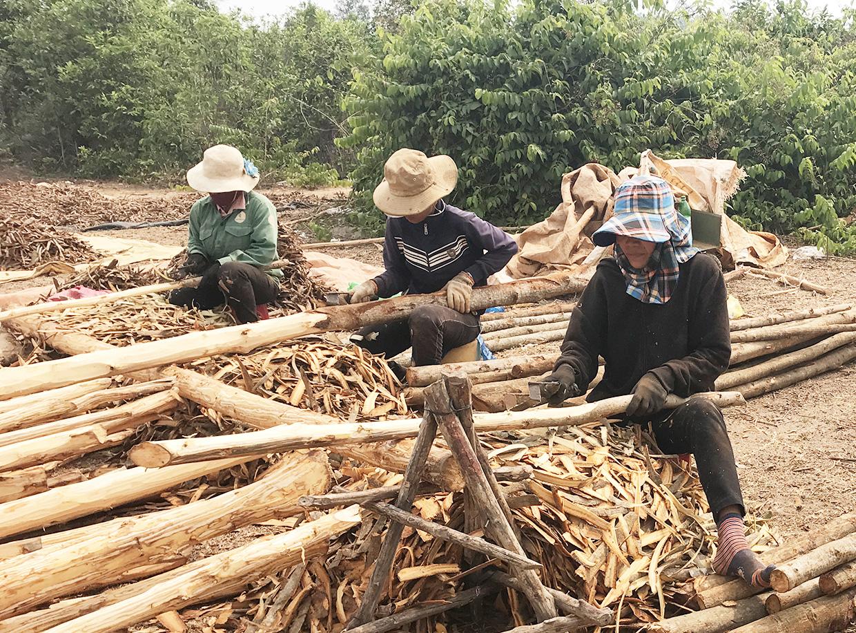 """Gia Lai: Cám cảnh vỏ cây """"giảm nghèo"""" giảm mạnh, nguyên nhân Trung Quốc, Ấn Độ cũng trồng được? - Ảnh 1."""