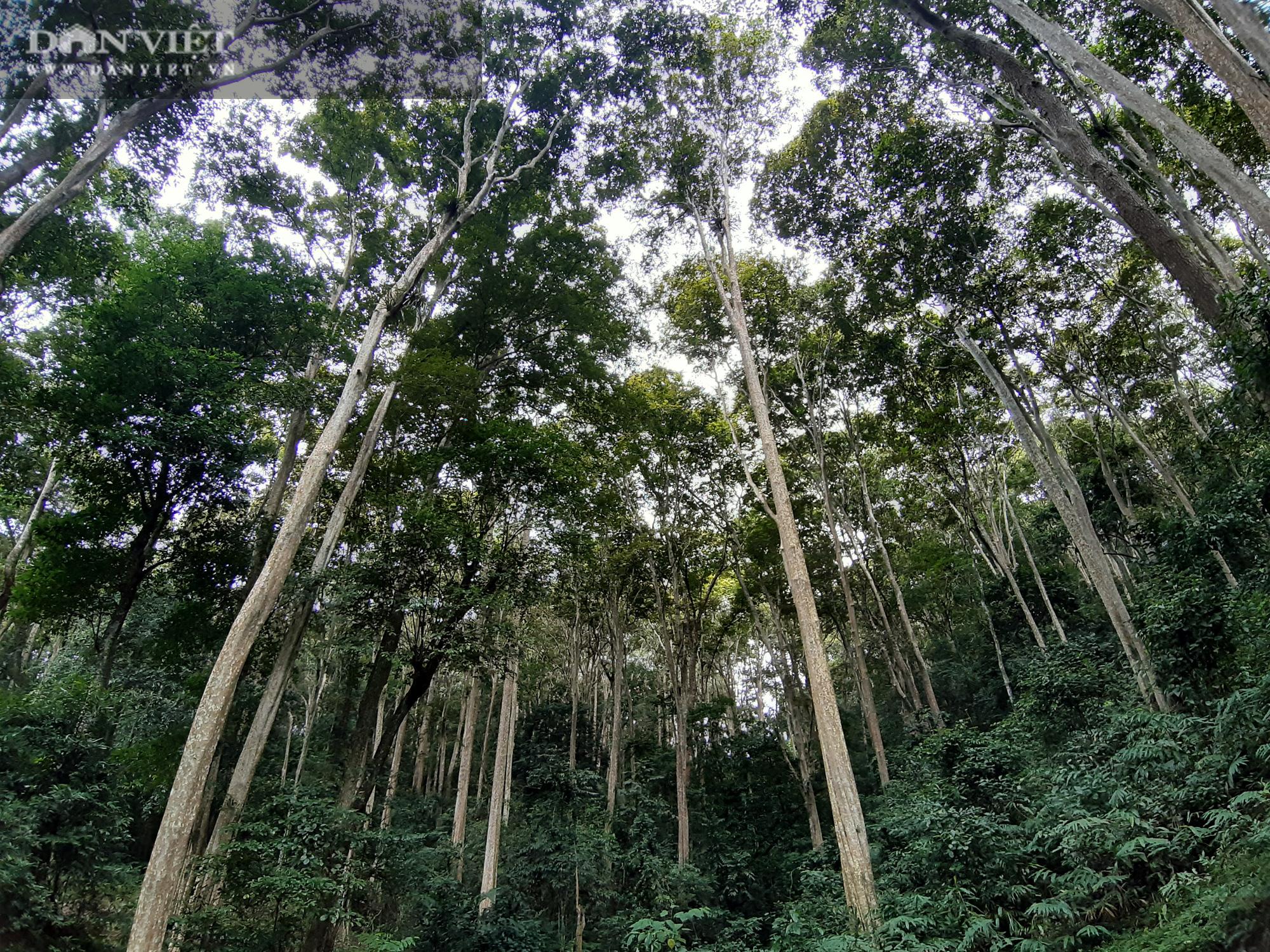 """Điều tra: Lật mặt nạ các """"phù thủy"""" hô biến nhiều cánh rừng cổ thụ! (Bài 1) - Ảnh 8."""