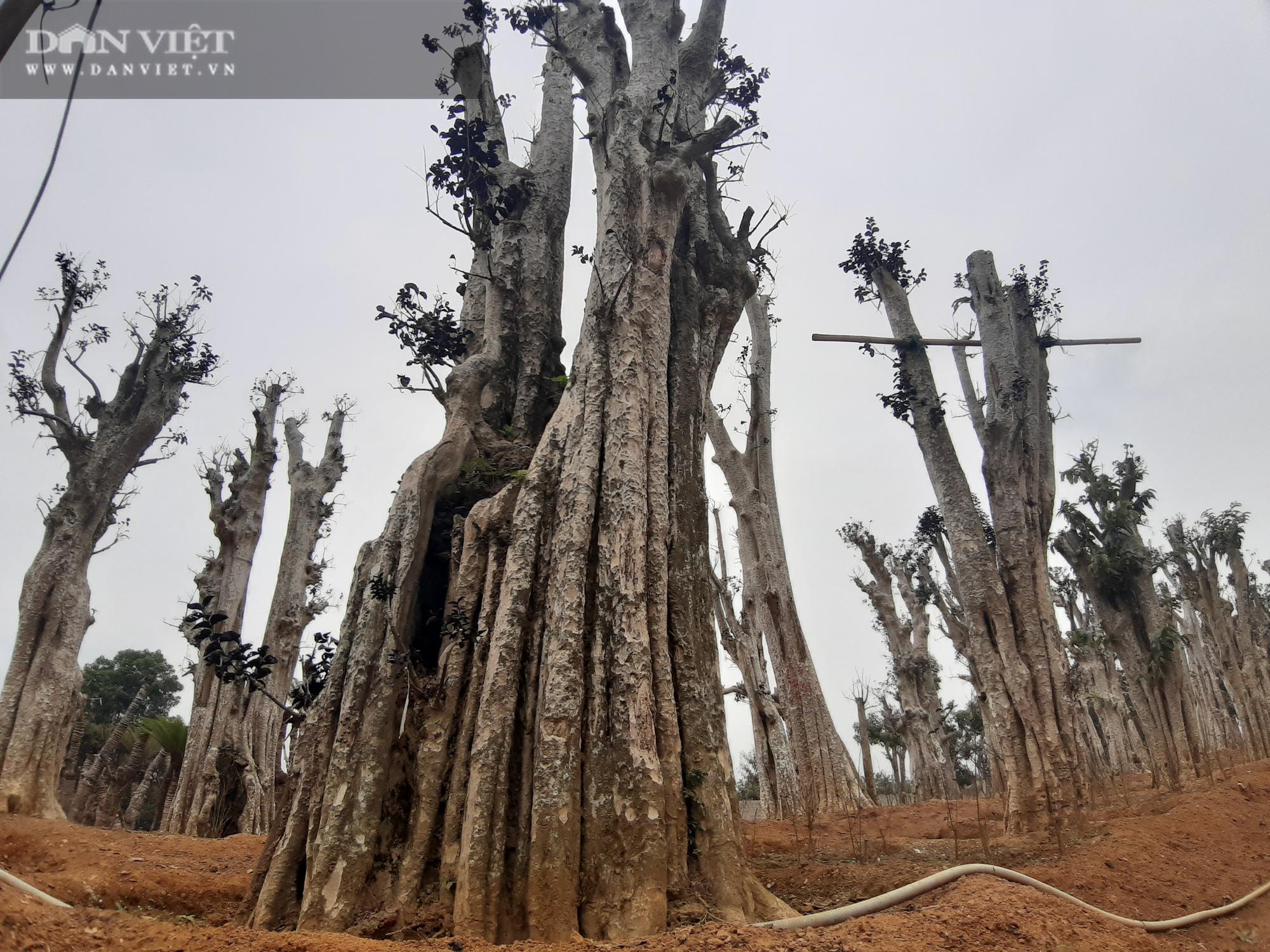 """Điều tra: Lật mặt nạ các """"phù thủy"""" hô biến nhiều cánh rừng cổ thụ! (Bài 1) - Ảnh 7."""