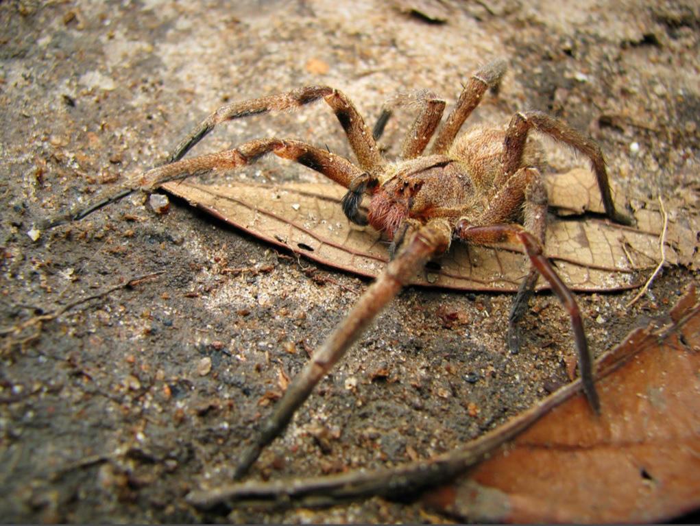 Cận cảnh loài nhện độc nhất thế giới có thể hạ gục người chỉ trong một vết cắn - Ảnh 1.