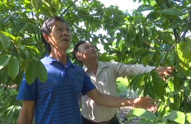 """Tiền Giang: Giăng mùng cho loại trái này tránh ruồi vàng, ông nông dân """"rốn phèn"""" thu nửa tỷ mỗi năm - Ảnh 2."""