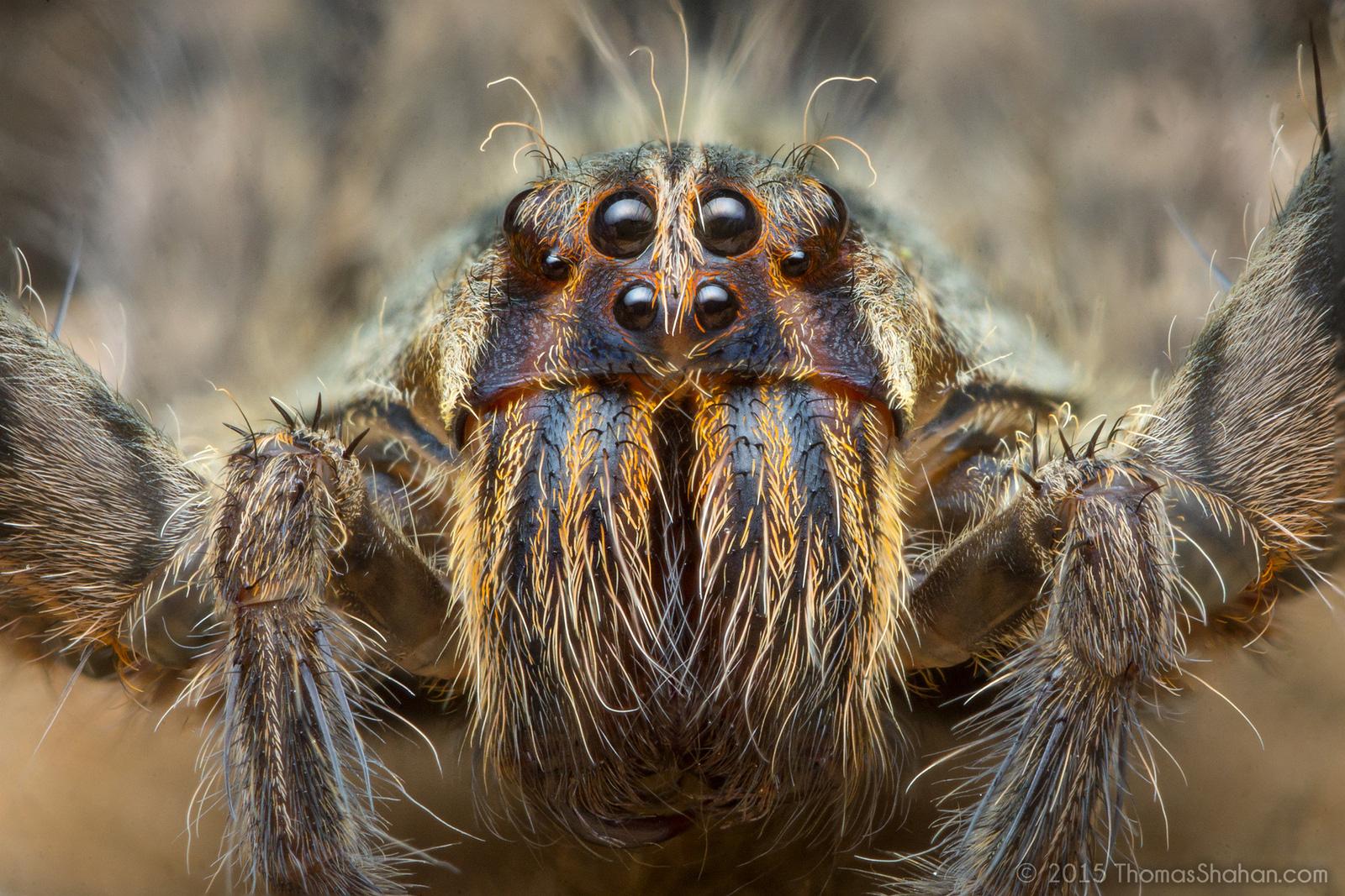 Cận cảnh loài nhện độc nhất thế giới có thể hạ gục người chỉ trong một vết cắn - Ảnh 2.