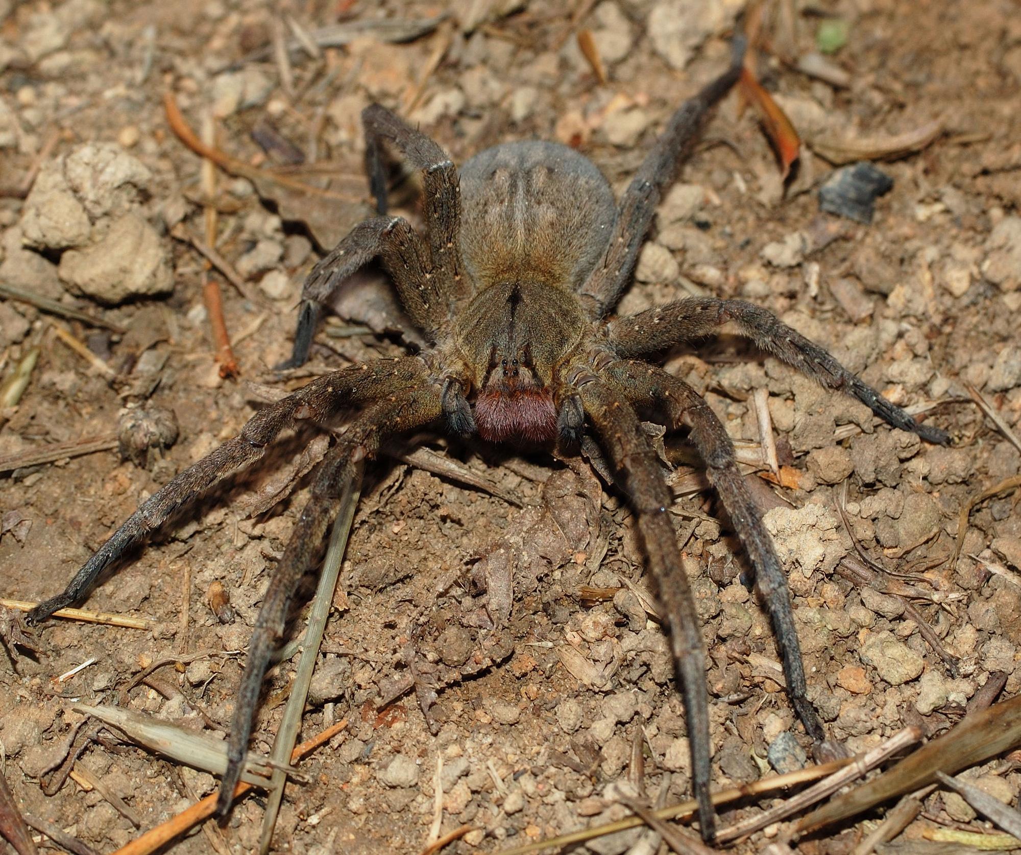 Cận cảnh loài nhện độc nhất thế giới có thể hạ gục người chỉ trong một vết cắn - Ảnh 3.