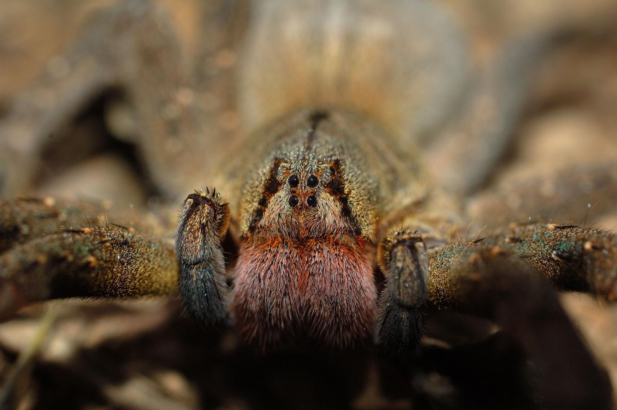 Cận cảnh loài nhện độc nhất thế giới có thể hạ gục người chỉ trong một vết cắn - Ảnh 4.