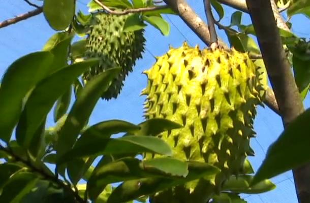 """Tiền Giang: Giăng mùng cho loại trái này tránh ruồi vàng, ông nông dân """"rốn phèn"""" thu nửa tỷ mỗi năm - Ảnh 3."""