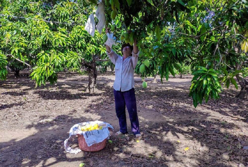 TP.HCM: Dân miền biển không khá bằng nghề cá mà bằng nghề trồng loại trái chua, ngọt, thơm lừng này - Ảnh 2.