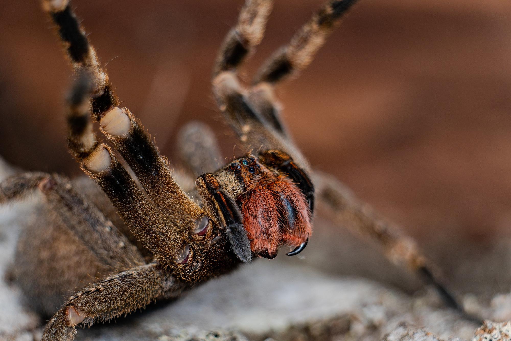 Cận cảnh loài nhện độc nhất thế giới có thể hạ gục người chỉ trong một vết cắn - Ảnh 5.
