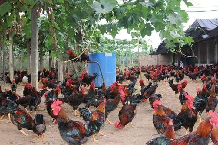 Giá gia cầm hôm nay 19/4: Giá gà thả vườn tăng dần, giá gà công nghiệp vẫn ở mức thấp - Ảnh 1.