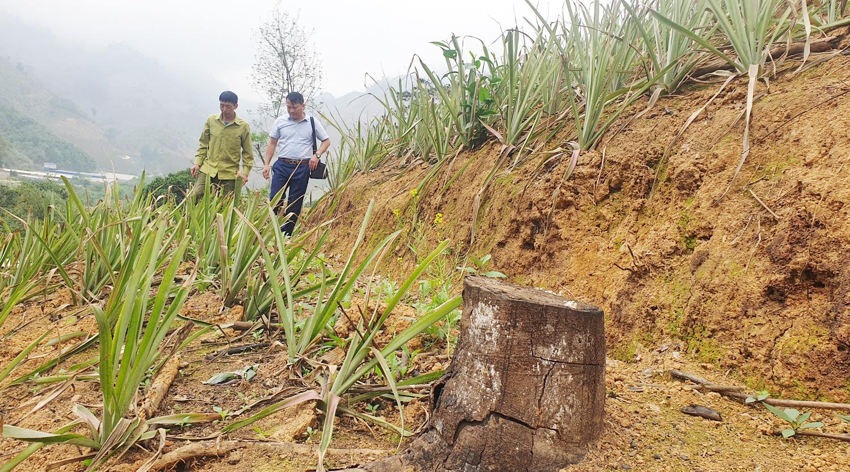 """Lào Cai: Mòn mỏi chờ đợi rồi thất vọng, nhiều hộ dân cay đắng phá bỏ cây """"vàng trắng"""" làm củi - Ảnh 3."""